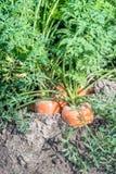 Piante arancioni della carota insieme nel suolo Immagine Stock