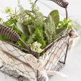 Piante aromatiche fresche Fotografia Stock