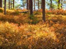 Piante asciutte del mirtillo all'inizio d'agosto in Norvegia fotografie stock libere da diritti