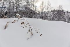 Piante asciutte nella neve Immagine Stock