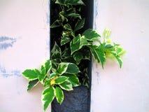 Piante bianche della buganvillea che mostrano dalla parete Immagine Stock Libera da Diritti