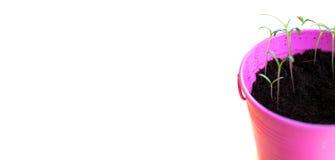 Piante che crescono in Pail Pot rosa Immagini Stock Libere da Diritti