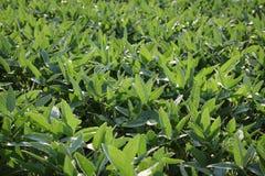 Piante coltivate verde della soia nel campo Immagine Stock