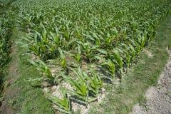 Piante coltivate verdi del mais, Manikgonj, Bangladesh Fotografie Stock Libere da Diritti