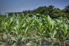 Piante coltivate verdi del mais, Manikgonj, Bangladesh Immagine Stock Libera da Diritti