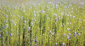 Piante comuni sboccianti del lino del blu dalla fine fotografie stock