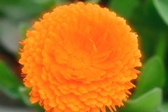 Piante con i fiori del tipo di margherita nel giallo arancio di colore ed in altri colori Immagini Stock