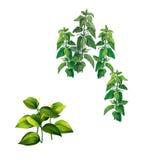Piante con le grandi foglie verdi ed ortica Fotografia Stock Libera da Diritti