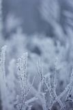 Piante congelate, fondo di inverno Immagini Stock