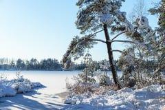 Piante congelate Snowy, fondo della foresta di inverno Immagini Stock Libere da Diritti