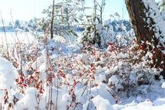 Piante congelate Snowy, fondo della foresta di inverno Fotografia Stock