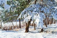 Piante congelate Snowy, fondo della foresta di inverno Fotografia Stock Libera da Diritti