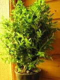 piante conservate in vaso Immagine Stock