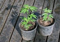 Piante conservate in vaso della canapa Fotografie Stock Libere da Diritti