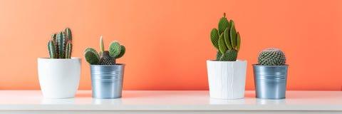 Piante conservate in vaso della casa del cactus sullo scaffale bianco contro la parete arancione di corallo Il cactus pianta l'in Immagini Stock