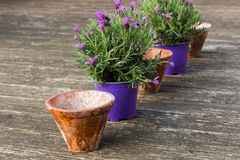 Piante conservate in vaso della lavanda in vasi da fiori ceramici su un terrazzo di legno Immagine Stock