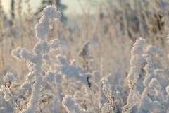 Piante coperte di neve Immagine Stock