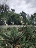 Piante coperte di spine di verde smeraldo con i lotti dei fiori bianchi nel mezzo fotografie stock