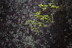 piante in crepe delle rocce Fotografie Stock