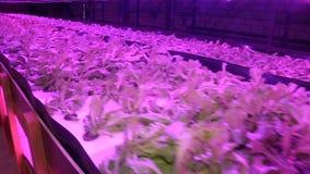 Piante crescenti dai sistemi integrati di acquacoltura e coltura idroponica sotto le lampade speciali video d archivio