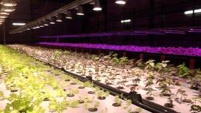 Piante crescenti dai sistemi integrati di acquacoltura e coltura idroponica sotto le lampade speciali archivi video