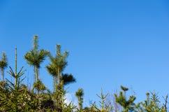Piante crescenti del pino Fotografia Stock
