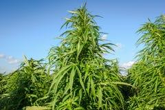 Piante crescenti della cannabis immagine stock