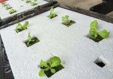 Piante crescenti di coltura idroponica Fotografia Stock