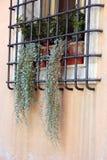 Piante d'attaccatura verdi asciutte sulla finestra Fotografie Stock Libere da Diritti