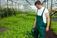 Piante d'innaffiatura del basilico del coltivatore Fotografia Stock Libera da Diritti