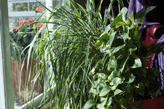 Piante da appartamento in Sunny Living Room Window Fotografie Stock Libere da Diritti