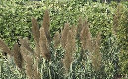 Piante dei casuarinoides di Lycopodiastrum immagini stock libere da diritti