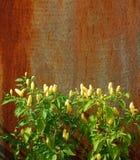 Piante dei peperoncini rossi contro la porta arrugginita del metallo Fotografia Stock
