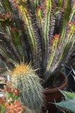 Piante del cactus Immagini Stock Libere da Diritti