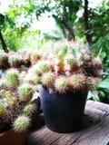 Piante del cactus Fotografia Stock