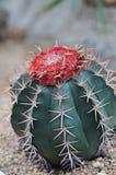 Piante del cactus con il fiore rosso Immagini Stock Libere da Diritti