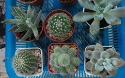 Piante del cactus in natura Fotografie Stock