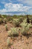 Piante del cactus nella stagione dei monsoni Fotografie Stock