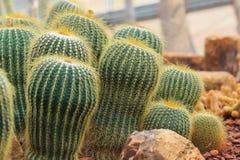 Piante del cactus, piante del deserto, natura Fotografie Stock