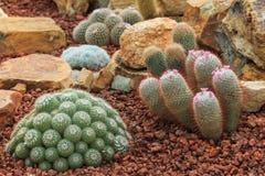 Piante del cactus, piante del deserto, natura Immagini Stock