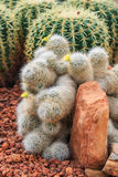 Piante del cactus, piante del deserto, natura Fotografia Stock