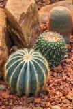 Piante del cactus, piante del deserto, natura Fotografia Stock Libera da Diritti