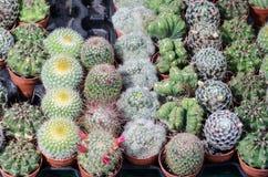 Piante del cactus sul vaso in un mercato delle piante fotografia stock