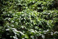 Piante del caffè sulla piantagione in Costa Rica Immagini Stock