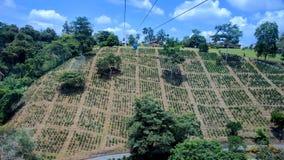 Piante del caffè in una piantagione di caffè Fotografia Stock Libera da Diritti