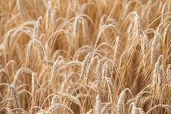 Piante del cereale, orzo Fotografia Stock Libera da Diritti