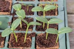 Piante del cetriolo di Komkommer in un vassoio di allevamento fotografie stock libere da diritti