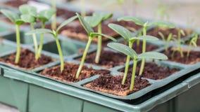 Piante del cetriolo di Komkommer in un vassoio di allevamento fotografie stock
