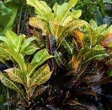 Piante del Croton con le foglie variopinte Fotografia Stock Libera da Diritti