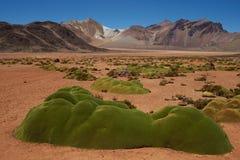 Piante del cuscino nell'Atacama Fotografia Stock